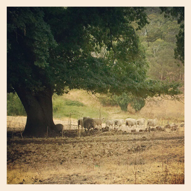 An Audience of Sheep for Todays Recording